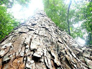 Độc đáo quần thể rừng nghiến nghìn năm tuổi ở Phú Thọ