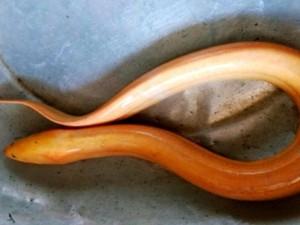 """An Giang: Nông dân phát hiện lươn vàng """"khủng"""" dài 0,6 m"""