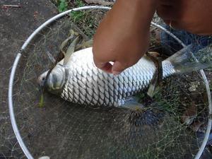 """Giật cá liên tục: Hai """"cao thủ"""" câu 10 kg cá mè vinh trên sông Hậu"""