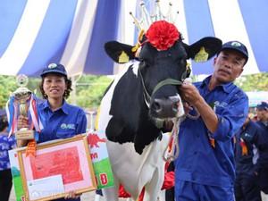 """""""Cô bò"""" cho hơn 15 tấn sữa/năm đoạt ngôi """"hoa hậu bò sữa"""" Mộc Châu"""