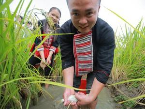 Du khách lội bắt cá chép trên ruộng bậc thang Hoàng Su Phì