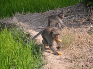 Mất ăn mất ngủ vì khỉ hoang phá phách, cắn người ở Sóc Trăng