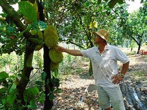 Bình Dương: Trồng mít lá bàng, cứ 1 cây cho ra 80-120 trái/năm