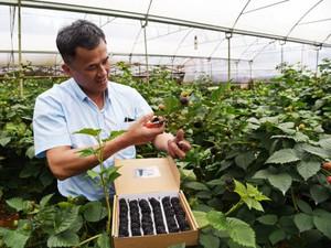Đà Lạt: Trồng cây ra quả đen như than, ăn vài trái khỏe cả người