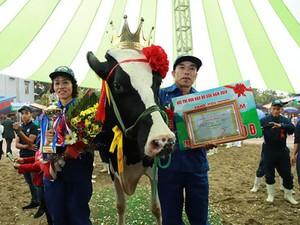 """Ảnh: Các """"cô bò"""" trên sàn """"catwalk"""" dự thi Hoa hậu bò sữa Mộc Châu"""