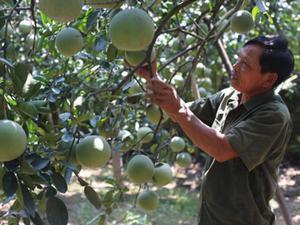 Chuyển đổi đất lúa, nông dân Hà Nội trồng quất, bưởi thu tiền tỷ