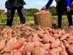 Nhật Bản: Vừa đào 15 tấn khoai thì bị mất sạch, nghi mafia trộm