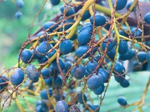 Thứ quả 'đặc sản' màu xanh đậm khi chín thơm thơm, bùi bùi, béo ngậy