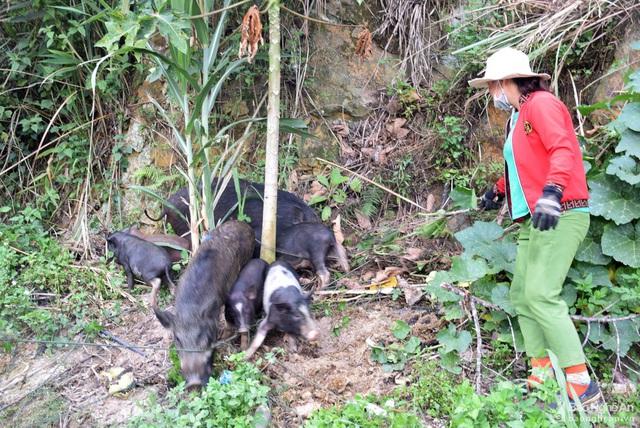 Nghệ An: Giống lợn đặc sản gì mà cả xã chỉ nuôi được hơn 1.000 con, giá cao không có mà bán?