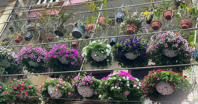 Ngẩn ngơ ngắm ngôi nhà phủ kín hoa dạ yến thảo của mẹ đảm Hưng Yên