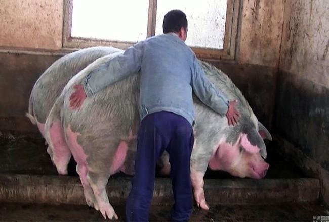 Lạm phát giá thịt lợn tại Trung Quốc là cơ hội cho nông dân Mỹ kiếm tiền - Ảnh 3.