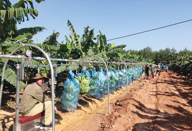 Xuất khẩu trái cây chính ngạch vẫn sang Trung Quốc thuận lợi - Ảnh 3.