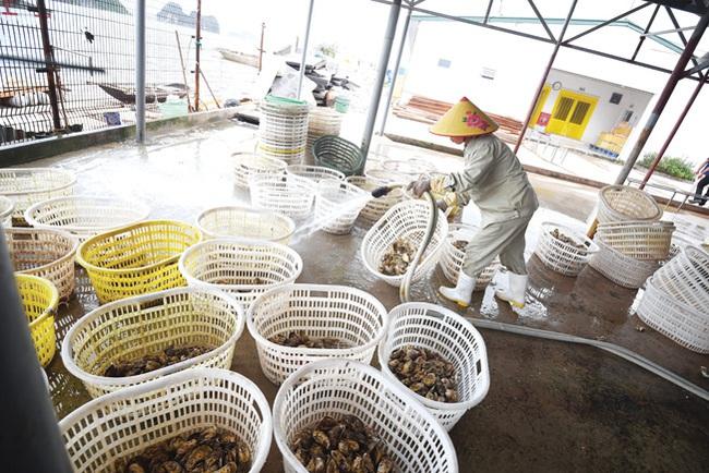 Cận cảnh quy trình nuôi hàu ngon nhất Việt Nam - Ảnh 7.