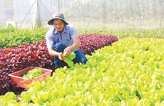 """Bỏ việc ngân hàng lương cao về trồng rau sạch """"5 không"""" - Ảnh 1."""