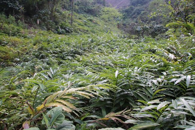 Mường La xóa đói giảm nghèo từ trồng cây dược liệu - Ảnh 5.