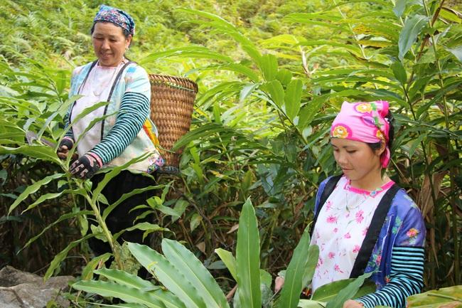 Mường La xóa đói giảm nghèo từ trồng cây dược liệu - Ảnh 1.