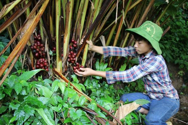 Mường La xóa đói giảm nghèo từ trồng cây dược liệu - Ảnh 6.