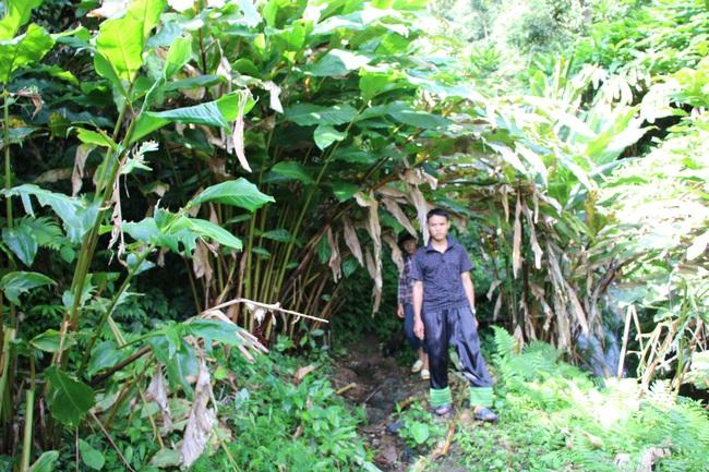 Mường La xóa đói giảm nghèo từ trồng cây dược liệu - Ảnh 2.