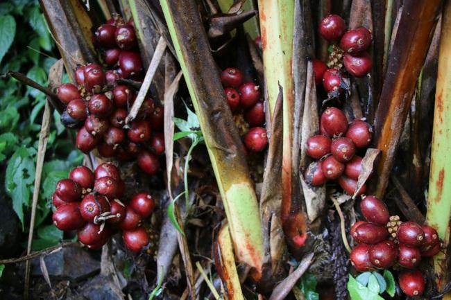 Mường La xóa đói giảm nghèo từ trồng cây dược liệu - Ảnh 4.