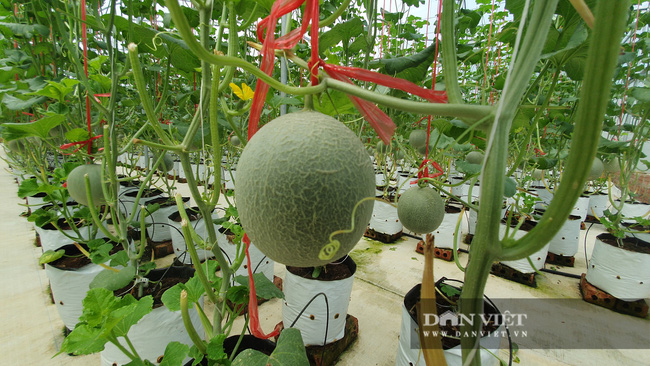 Trồng dưa lưới trong nhà màng, nông dân Hà Tĩnh chỉ việc đếm quả thu tiền - Ảnh 6.