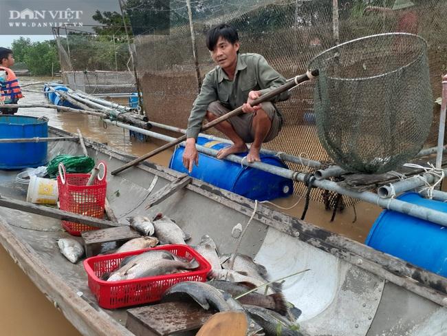 """Quảng Bình: Người dân """"khóc ròng"""" nhìn hàng chục tấn cá lồng chết sau mưa lũ - Ảnh 1."""