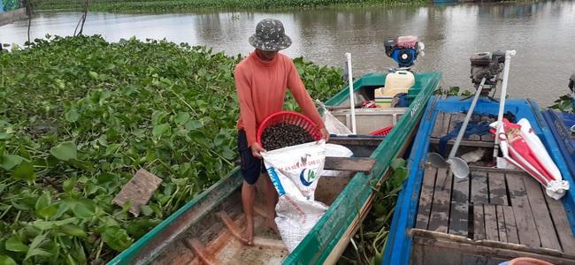 """Long An: Lũ thấp, lũ chậm, tôm cá """"vắng vẻ"""", nhiều nông dân quay ra đi mò bắt thứ ốc này bán kiếm tiền - Ảnh 1."""