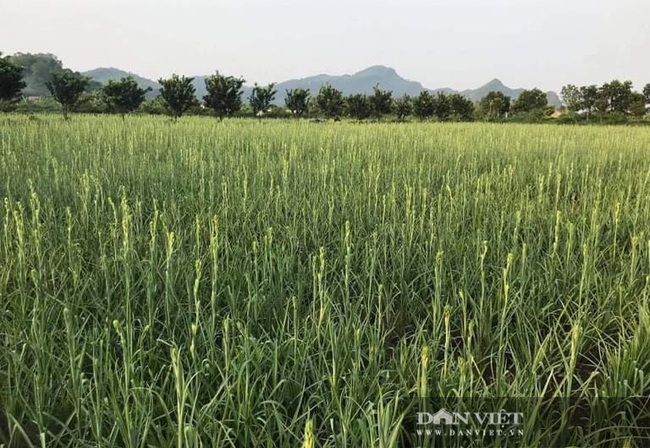 Trồng loài hoa chỉ nở về đêm, nông dân Thanh Hóa thu lời 100 triệu/ha/năm  - Ảnh 6.