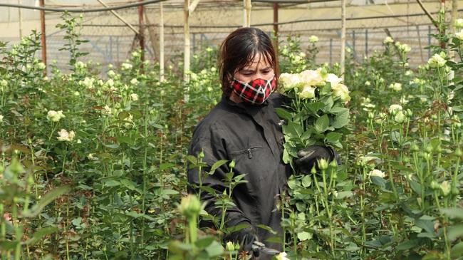 Sát ngày Phụ nữ Việt Nam, giá hoa hồng tại Đà Lạt hơn 10 ngàn đồng/bông - Ảnh 2.