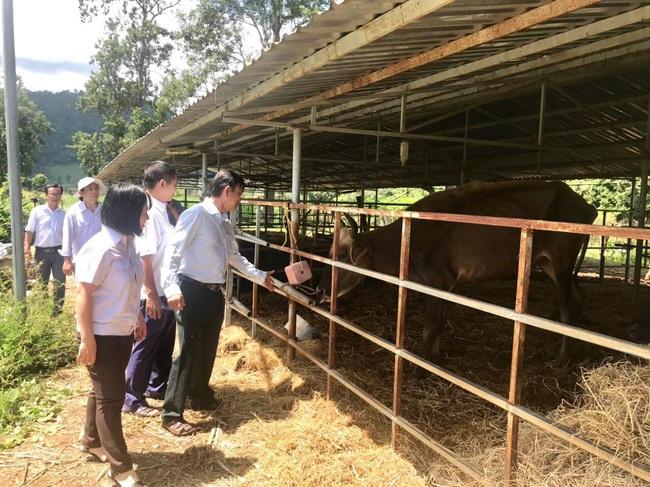 Sức khỏe đàn bò tót lai quý hiếm đã cải thiện - Ảnh 1.