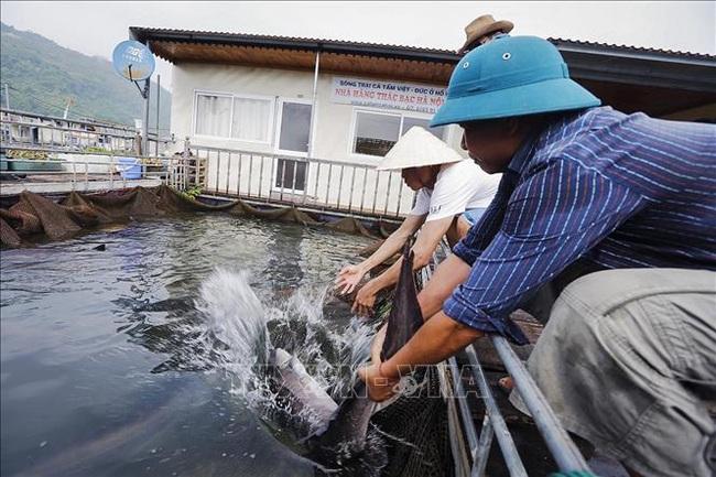 """Thả cá đặc sản trên hồ Hoà Bình, bắt lên toàn con to, gắn """"sao"""" OCOP lại càng được giá - Ảnh 4."""