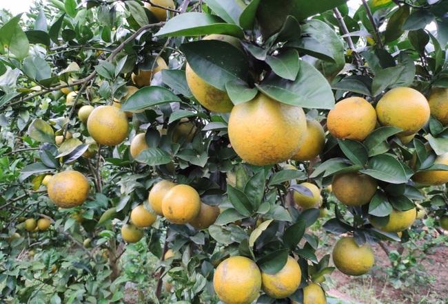 Bắc Giang: Đến Lục Ngạn, du khách thích thú đi xe trâu thăm quan trải nghiệm vườn cam, bưởi tiền tỷ, quả sai trĩu cành - Ảnh 3.