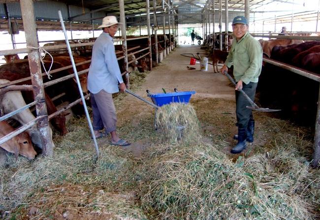 Long An: Cụ bà U80 mở trang trại nuôi bò lực sĩ kiếm việc cho thanh niên  - Ảnh 2.