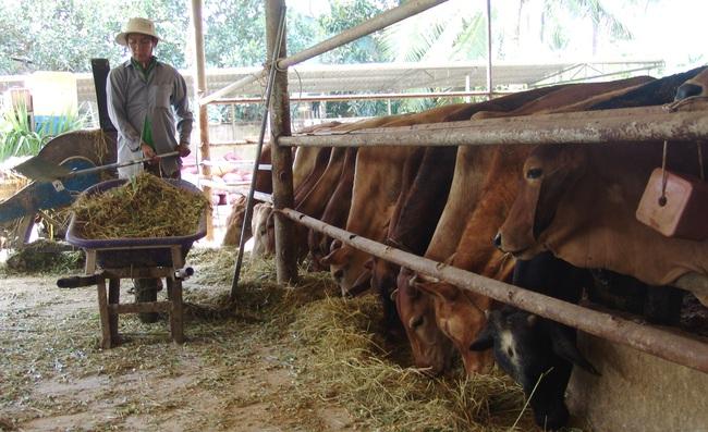 Long An: Cụ bà U80 mở trang trại nuôi bò lực sĩ kiếm việc cho thanh niên  - Ảnh 4.
