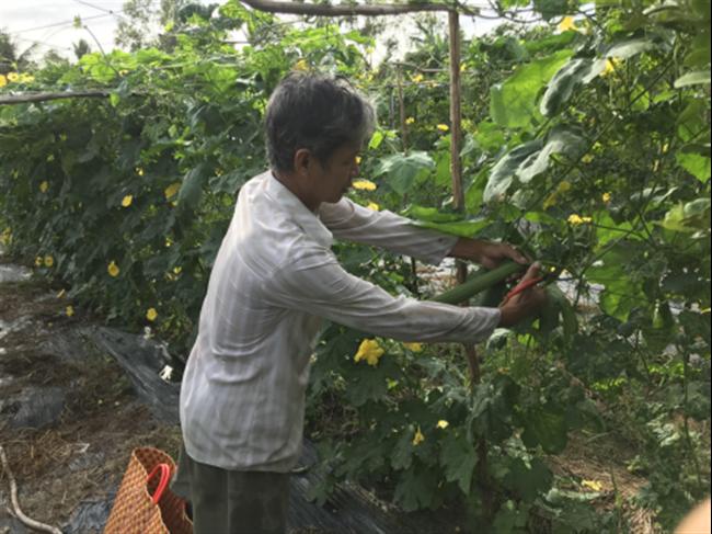 Một ông nông dân tỉnh Hậu Giang khá giả nhờ trồng mướp, hái trái nào công ty mua hết trái đó - Ảnh 1.