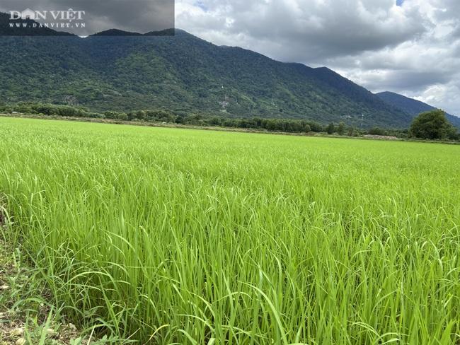 """Quy trình sản xuất """"gạo lạ"""" ngon sạch có giá đắt gấp 3 lần gạo thường - Ảnh 3."""
