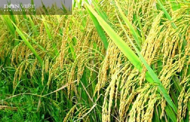 """Quy trình sản xuất """"gạo lạ"""" ngon sạch có giá đắt gấp 3 lần gạo thường - Ảnh 14."""