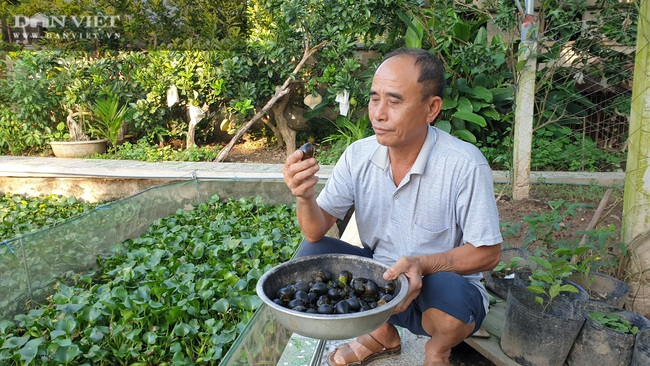 Ninh Bình: Chán cá cảnh chuyển sang nuôi đàn ốc béo ú ngắm chơi, lão nông kiếm trăm triệu/năm - Ảnh 2.