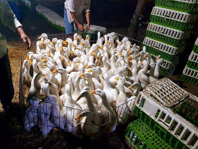Giá gia cầm hôm nay 31/10: Chủ trại xót xa nhìn đàn gà vạn con chết la liệt trước ngày xuất chuồng - Ảnh 2.