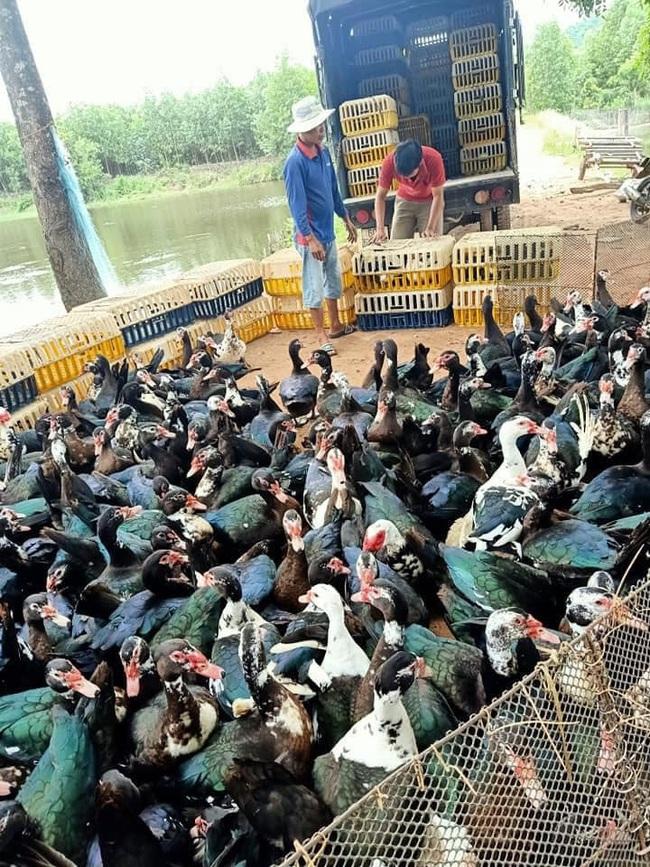 Giá gia cầm hôm nay 5/10: Giá vịt thịt miền Nam giảm nhanh, gà lông trắng chững giá - Ảnh 2.