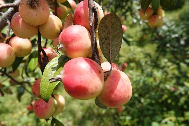 Đưa cây dại táo mèo thành cây trồng chủ lực - Ảnh 1.