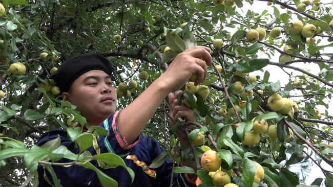 Đưa cây dại táo mèo thành cây trồng chủ lực - Ảnh 2.