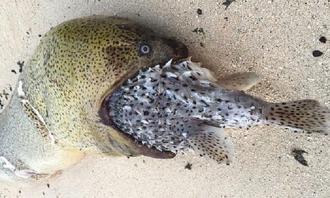 Lươn biển chết nghẹn tức tưởi vì nuốt phải con cá nóc đầy gai - Ảnh 1.