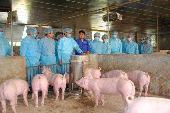 Giám sát chặt chẽ dịch tả lợn châu Phi, tái đàn an toàn   - Ảnh 1.