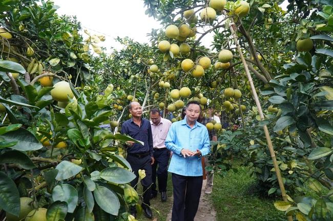 Bí quyết chăm vườn bưởi 600 cây, quả sai trĩu trịt, thu bạc tỷ của lão nông Lục Ngạn - Ảnh 3.