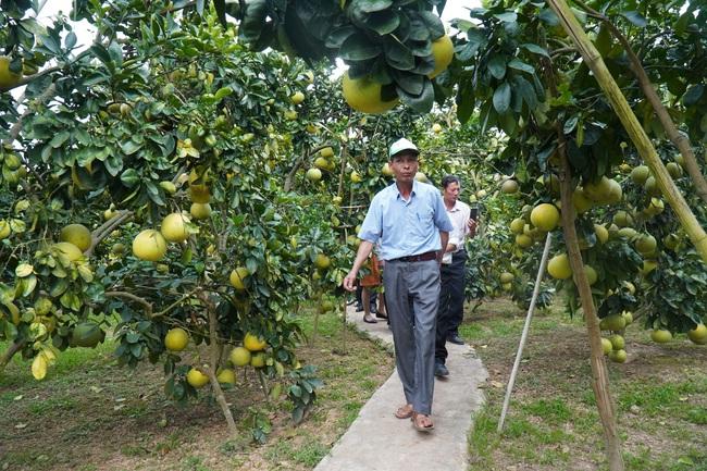 Bí quyết chăm vườn bưởi 600 cây, quả sai trĩu trịt, thu bạc tỷ của lão nông Lục Ngạn - Ảnh 5.