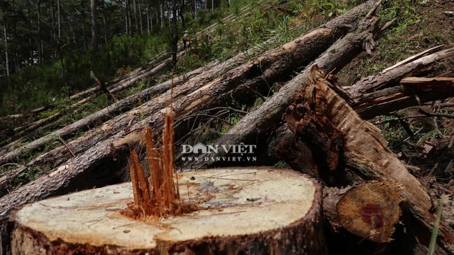 """Nhiều đơn vị vào cuộc điều tra vụ rừng thông """"khủng"""" bị cưa hạ - Ảnh 2."""