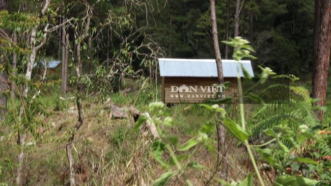 """Nhiều đơn vị vào cuộc điều tra vụ rừng thông """"khủng"""" bị cưa hạ - Ảnh 4."""