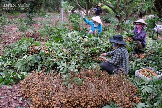 Nhãn còn 7.000 đồng/kg, nông dân khóc lóc vì lỗ mất chiếc xe ô tô - Ảnh 4.