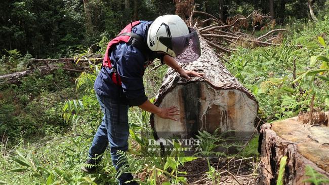 """Vụ cưa hạ hàng trăm cây thông """"khủng"""": 6 điểm phá với hơn 140m3 gỗ  - Ảnh 4."""