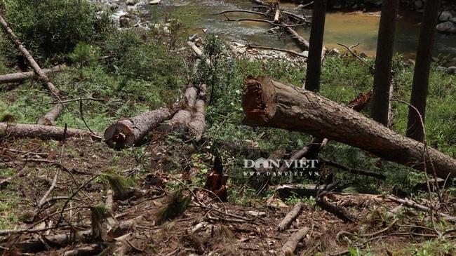 """Vụ phá hàng trăm cây thông """"khủng"""": Phó Chủ tịch UBND tỉnh chỉ đạo điều tra - Ảnh 1."""